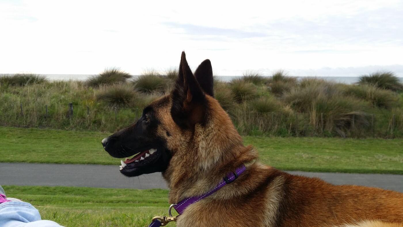 Schäferhund zur Verteidigung - Schutzhunde - Hund zur Eigenverteidigung nutzen