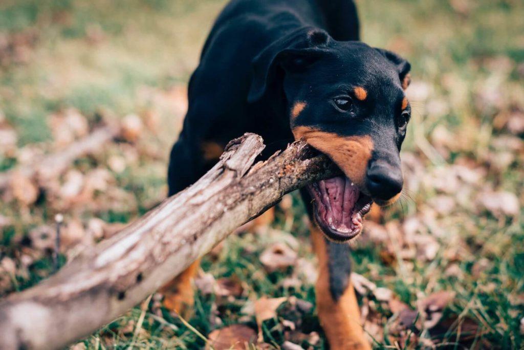 Schutzhunde zur Verteidigung